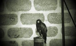 Fauconnerie sauvage d'aigle photographie stock libre de droits