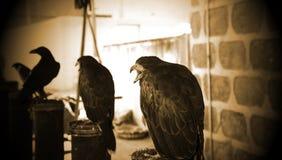 Fauconnerie sauvage d'aigle images libres de droits