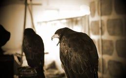 Fauconnerie sauvage d'aigle images stock