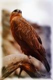 Faucons Photos libres de droits
