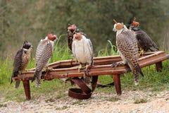 Faucons d'élevage de faucon Images libres de droits