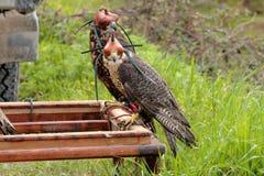 Faucons d'élevage de faucon Images stock