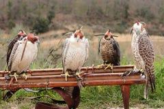 Faucons d'élevage de faucon Photographie stock libre de droits