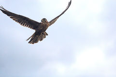 Faucons d'élevage de faucon Image libre de droits