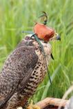 Faucons d'élevage de faucon Photo stock