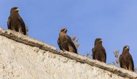 Faucons de Lanner sur les murs de la boucherie d'air ouvert dans la ville de Jugol Harar l'ethiopie Photographie stock