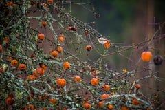 Faule Äpfel auf einem Baum und einem Vogel Lizenzfreies Stockbild