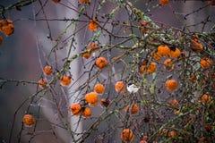 Faule Äpfel auf einem Baum und einem Vogel Lizenzfreie Stockfotografie