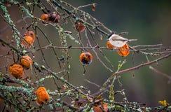 Faule Äpfel auf einem Baum und einem Vogel Stockfotos