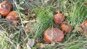 Faule Äpfel liegen auf dem Gras im Garten stock video footage