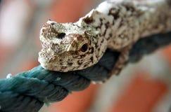 Faule Eidechse auf einem blauen Seil Stockfotos