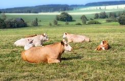 Faule Kühe lizenzfreies stockfoto