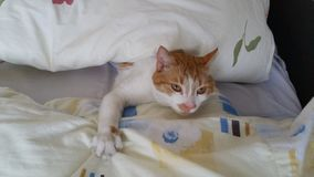 Faule Katze Lizenzfreies Stockfoto