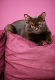 Faule Katze, die auf die Couch legt Lizenzfreies Stockfoto