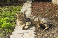 Faule Katze, die im Garten stillsteht Lizenzfreie Stockfotografie