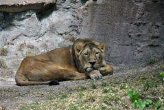 Faule Löwin, die im Schatten an einem warmen Sommertag liegt stockbilder