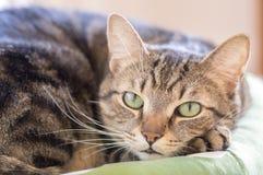 Faule Marmorkatze mit magischem Kalk mustert das Lügen im grünen Katzenbett Lizenzfreie Stockfotos