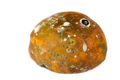 Faule Papaya auf dem wei?en Hintergrund, pilzartig in der Papaya lizenzfreie stockfotografie