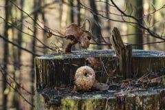 Faule Pilze auf einem Baumstumpf Lizenzfreies Stockbild