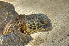 Faule Schildkröte auf dem Sand. Lizenzfreies Stockbild