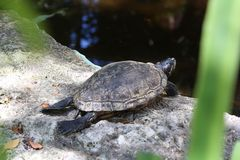 Faule Schildkröte, die draußen ein Sonnenbad nimmt Stockfotos