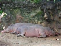 Faule Schweine Stockbild