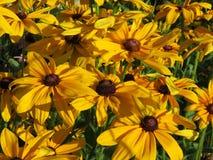 Faule Susan Flowers im Sommer-Garten Lizenzfreies Stockbild