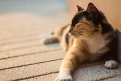 Faule thailändische Katze stockbild