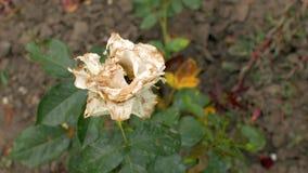 Faule verblaßte weiße Rosen des Gartens in den Garteneinflüssen im Wind Verwelkte Blumen 4K Video 4K stock footage