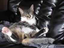 Faulenzende Haus-Katze Lizenzfreie Stockbilder