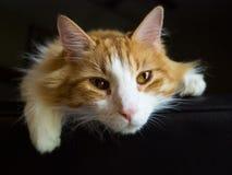 Faulenzende Katze Lizenzfreie Stockbilder