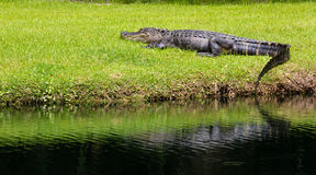 Faulenzender Alligator Lizenzfreie Stockbilder