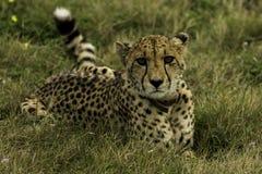 Faulenzender Gepard Lizenzfreie Stockfotos