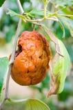 Fauler Affe Apfel oder Jujube Stockbild