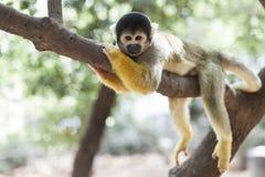 Fauler Affe auf Baum Lizenzfreie Stockfotografie