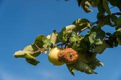 Fauler Apfel nahe einem gesunden auf dem Baum stockfotografie