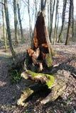 Fauler Baumstumpf Stockfotos