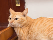 Fauler Ginger Cat Resting Lizenzfreies Stockbild