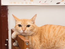 Fauler Ginger Cat Resting Lizenzfreie Stockbilder