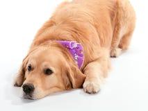 Fauler Hund Lizenzfreie Stockfotos
