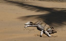 Fauler Hund, der am tropischen Strand schläft stockbilder