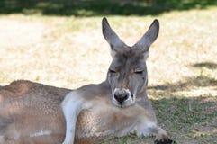 Fauler Känguru Lizenzfreie Stockfotografie
