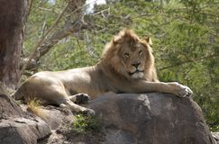 Fauler Löwe Stockfoto