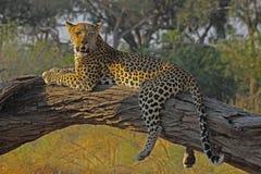 Fauler Leopard Stockbild