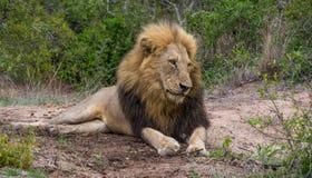 Fauler männlicher Löwe Stockfoto