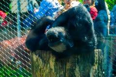 Fauler Schimpanse Stockfotografie