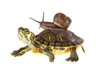 Fauler Schneckeaufzug auf Schildkröte Lizenzfreie Stockfotos