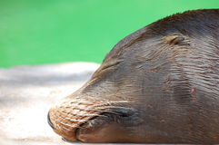 Fauler Seelöwe Stockbild