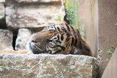 Fauler Tiger Stockbilder