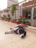 Fauler Zeiger-Hund Lizenzfreies Stockfoto